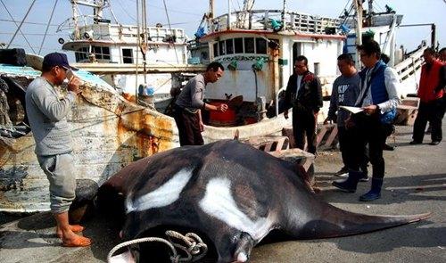 台渔民捕获鬼蝠魟 通报官方无人理直接分食